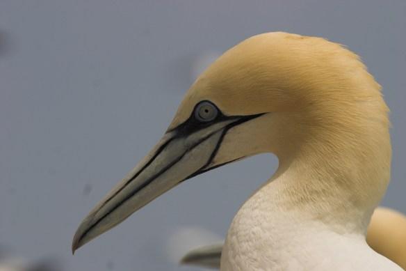 ortac gannets 2005 june23 059-1-2