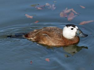 799px-White-headed_Duck_(Oxyura_leucocephala)_RWD2