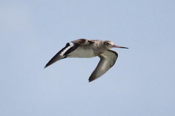 Black-tailed godwit. Photo by Mick Dryden
