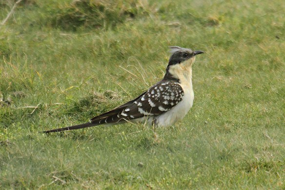 Great spotted cuckoo. Jersey 2014. Photo by Mick Dryden
