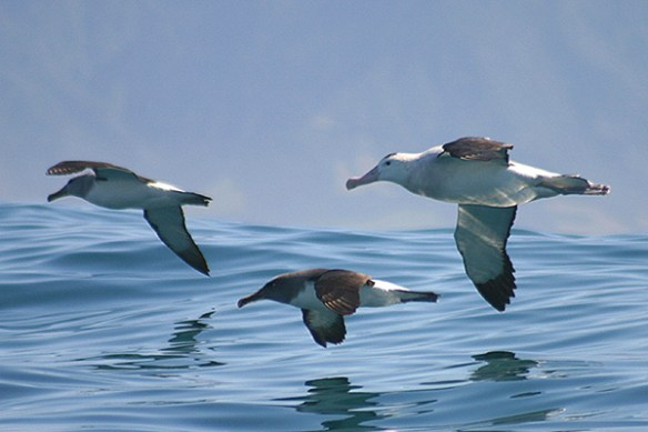 Albatrosses. Photo by Mick Dryden