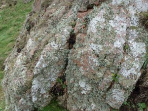 Ramalinas and crustose lichens on rock R