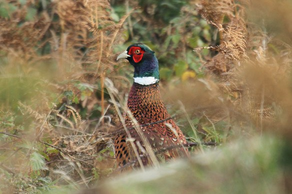 Pheasant (male)(2). Photo by Mick Dryden