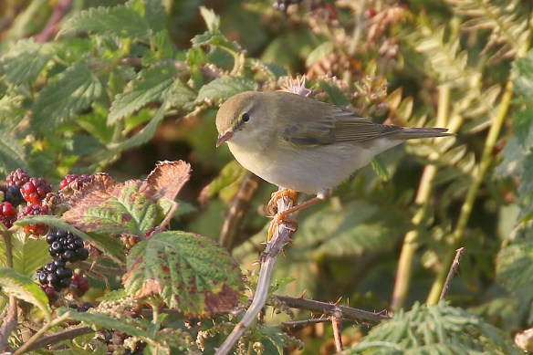 Willow warbler (4). Photo by Mick Dryden