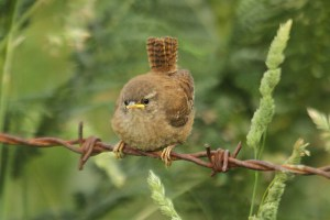 Wren (4). Photo by Mick Dryden