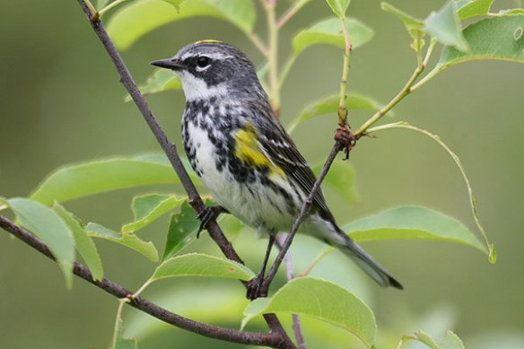 Yellow-rumped warbler. Photo by Mick Dryden