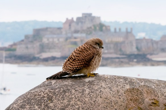Kestrel and Elizabeth Castle. Photo by Romano da Costa