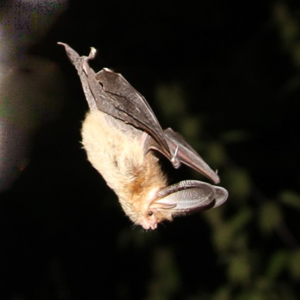 Brown long-eared bat. Photo by Miranda Collett_4