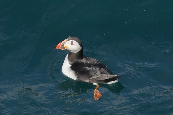 Atlantic puffins 15-6-2017. Photo by Mick Dryden (3)