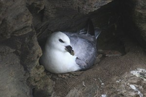 Fulmar. Photo by Mick Dryden