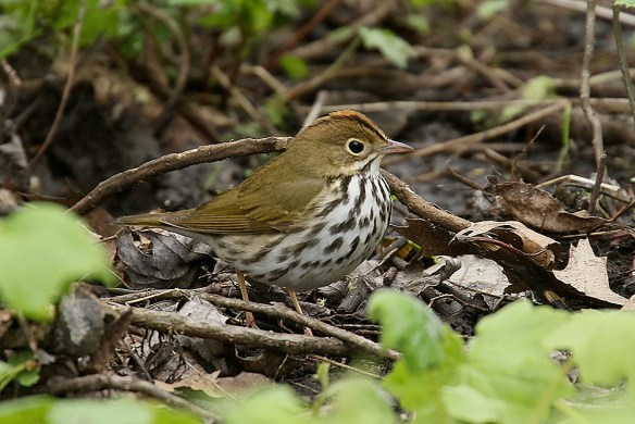 Ovenbird. Photo by Mick Dryden