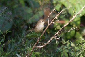 Blyth's reed warbler. Photo by Mick Dryden