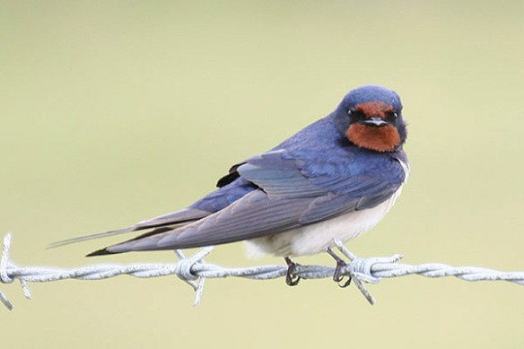 Barn swallow (2). Photo by Mick Dryden