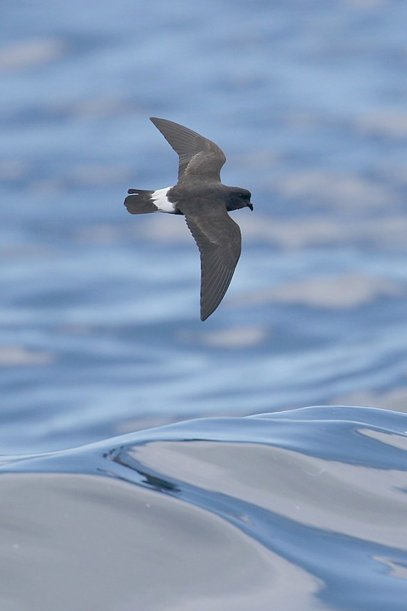 Storm petrel (4). Photo by Mick Dryden