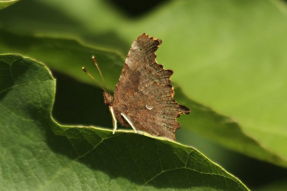 Comma. Photo by Mick Dryden