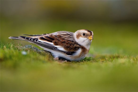 Snow bunting, Plemont, November 2017. Photo by Romano da Costa