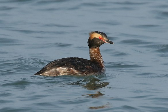 Slavonian (horned) grebe. Photo by Mick Dryden