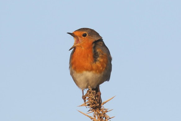 Robin (5). Photo by Mick Dryden