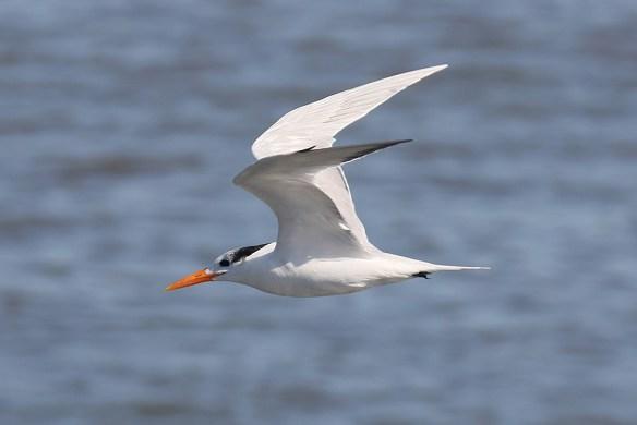 Royal tern. Photo by Mick Dryden