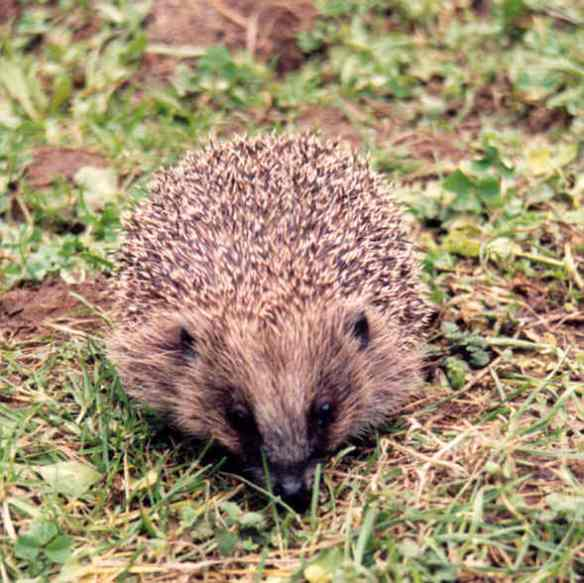 Hedgehog Mr Payn facing front. Photo by Dru Burdon