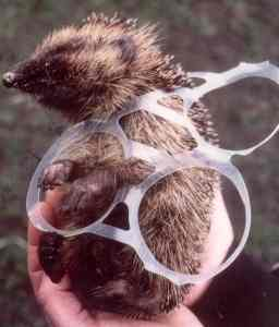 Hedgehog in 4 pack rings. Photo by Dru Burdon