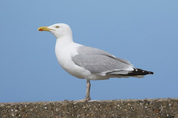 Herring gull (3). Photo by Mick Dryden