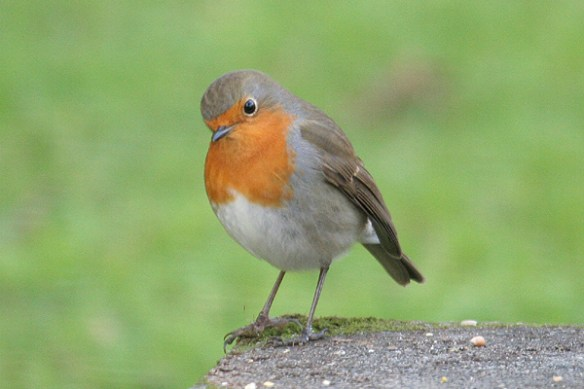 Robin (2). Photo by Mick Dryden