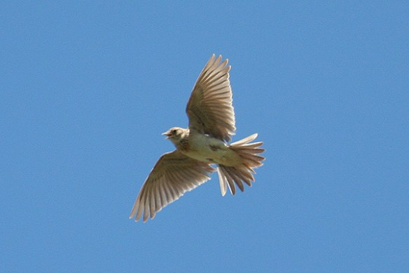 Skylark (3). Photo by Mick Dryden