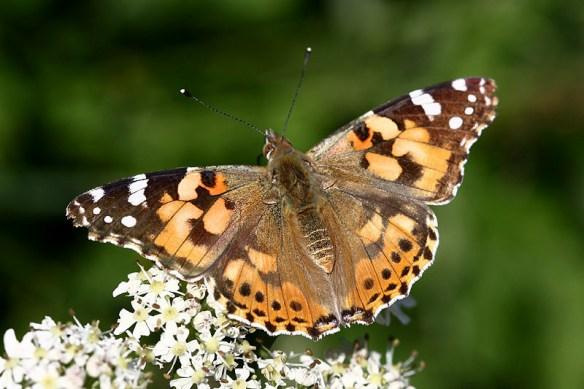 Painted lady. Photo by Mick Dryden