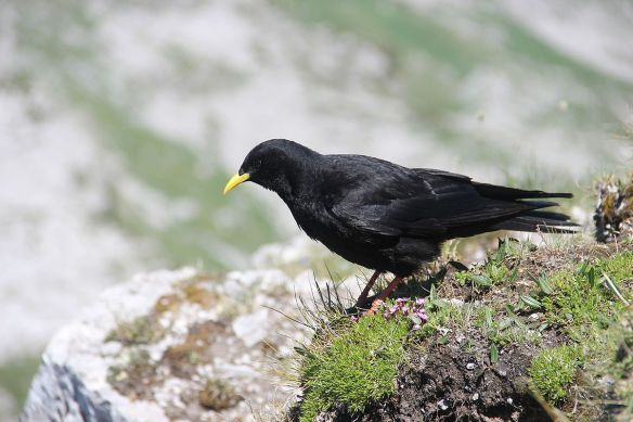 By Björn S... - Alpine chough - Pyrrhocorax graculus, CC BY-SA 2.0, https://commons.wikimedia.org/w/index.php?curid=40039369