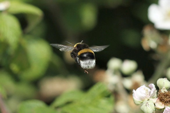 Bumble bee. Photo by Mick Dryden