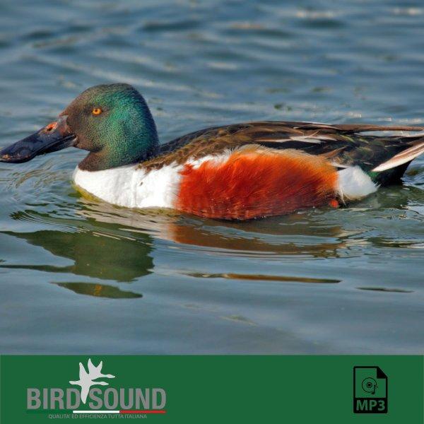 Bird Sound - Argentina Cuba - Pato Chucara