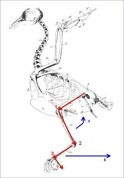 joints of the foot diagram perko single battery switch wiring anatomy: how do birds fold their legs in flight? | outside my window