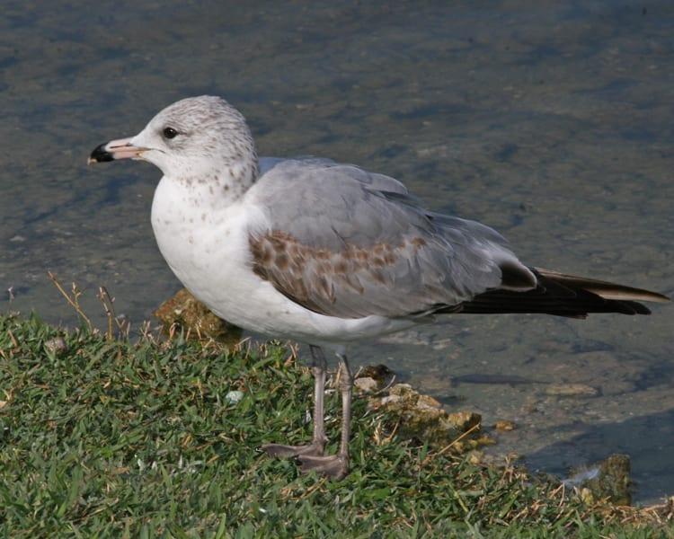 Gull Ring Florida Gull Billed