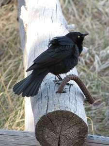 Brewers Blackbird male