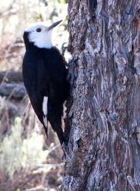 Female White-headed Woodpecker