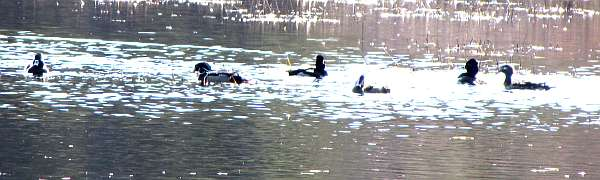 Wood Ducks and others