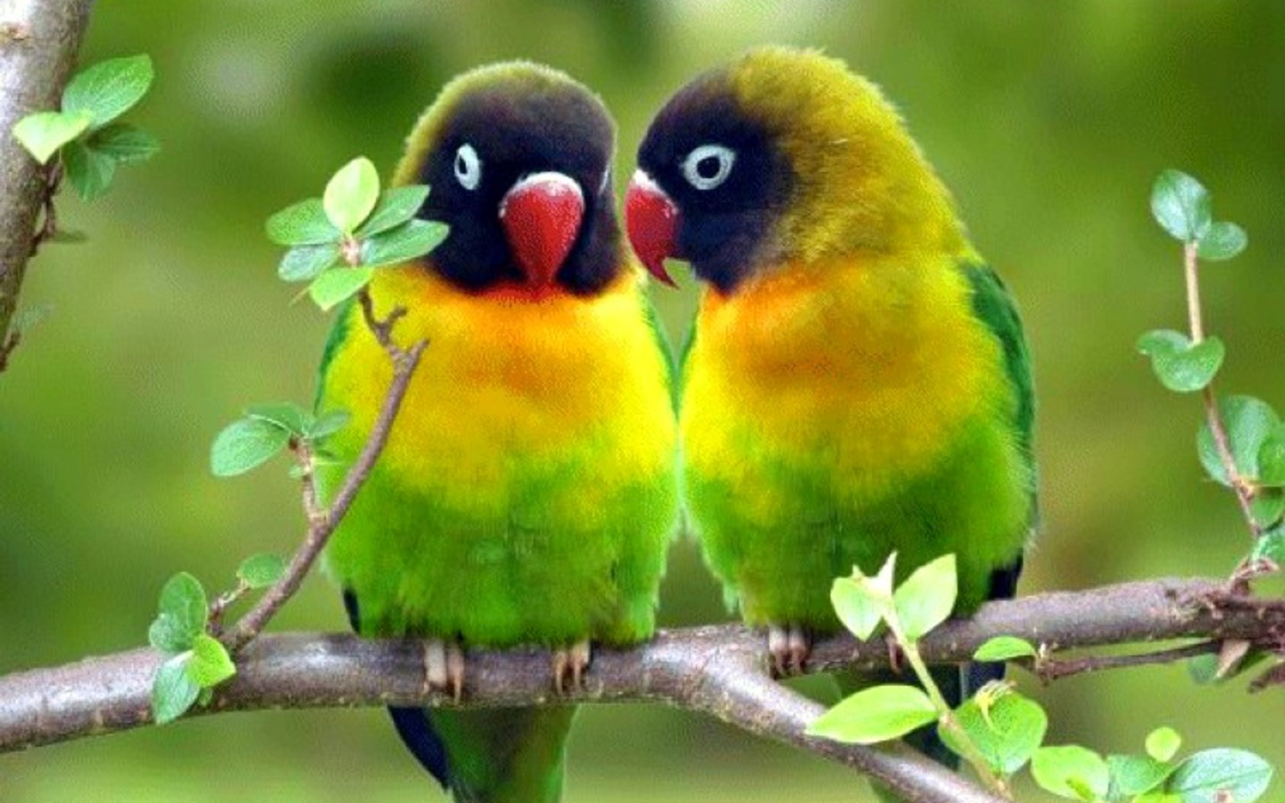 redparrots wallpaper photo and