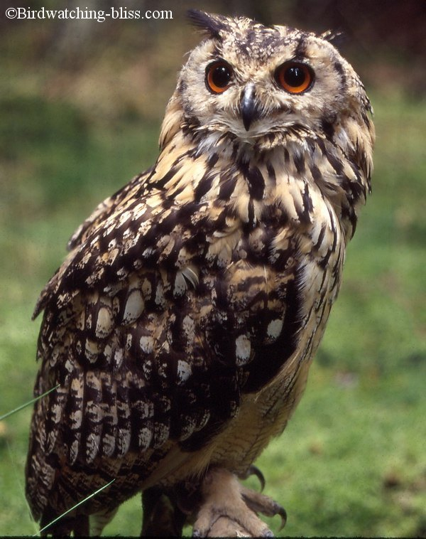 Indian Eagle Owl Middot