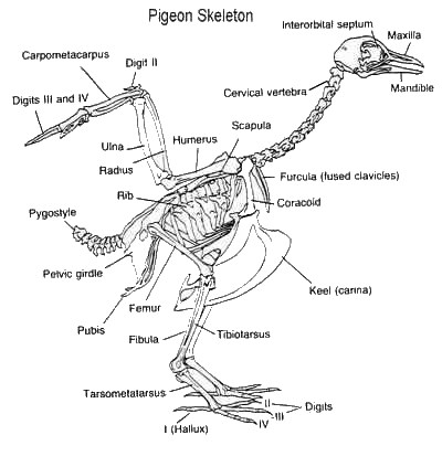 eagle anatomy diagram 2003 ford taurus parts bird skeleton what s unique highly adapted for flight