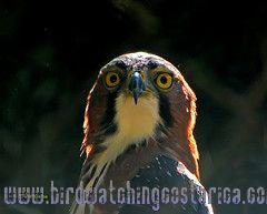 [:en]Bird Ornate Hawk-Eagle[:es]Ave Aguilillo Penachudo[:]