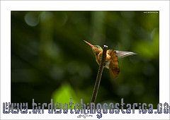 [:en]Bird Cinnamon Hummingbird[:es]Ave Amazilia Canela[:]