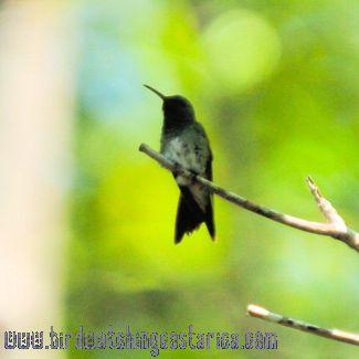 [:en]Bird Mangrove Hummingbird[:es]Ave Amazilia Manglera[:]