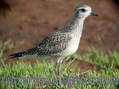 [:en]Bird American Golden-Plover[:es]Ave Chorlito Dorado Americano[:]