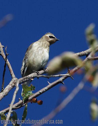 [:en]Bird Cedar Waxwing[:es]Ave Ampelis Americano[:]