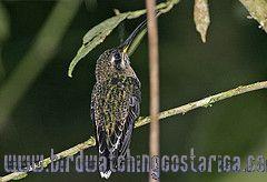 [:en]Bird Band-tailed Barbthroat[:es]Ave Ermitaño Barbudo[:]