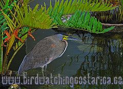 [:en]Bird Bare-throated Tiger-Heron[:es]Ave Garza-Tigre Cuellinuda[:]