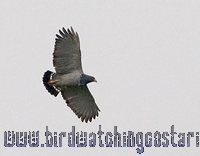 [:en]Bird Barred Hawk[:es]Ave Gavilán Pechinegro[:]
