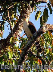 [:en]Bird Bicolored Hawk[:es]Ave Gavilán Bicolor[:]