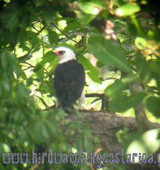 [:en]Bird Black-and-white Hawk Eagle[:es]Ave Aguilillo Blanco y Negro[:]